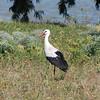 White Stork (Ciconia ciconia) Coto Donana, Spain