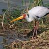 Yellow-billed Stork (Mycteria ibis) Queen Elizabeth NP, Uganda