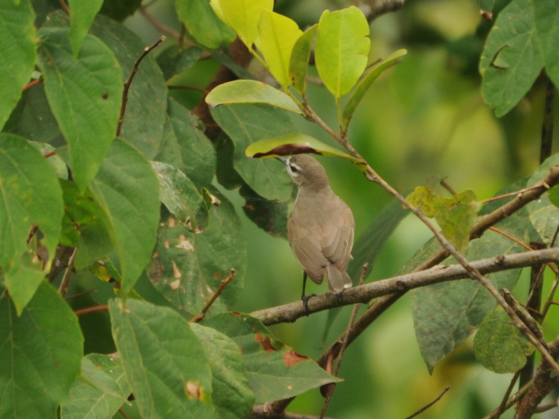 Mouse-brown Sunbird (Anthreptes gabonicus) Axim, Ghana