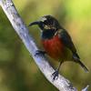 Humblot's Sunbird (Cinnyris humbloti) Mount Karthala, Grand Comore, Comoros