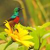 Rwenzori Double-collared Sunbird (Cinnyris stuhlmanni) Mgahinga Gorilla Reserve, Uganda