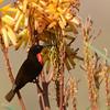 Scarlet-chested Sunbird (Chalcomitra senegalensis) Rafiki Orphanage, Moshi, Tanzania