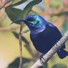 Madagascar Sunbird (Cinnyris notatus) [Grande Comore Green Sunbird (Cinnyris moebii)] Mount Karthala, Grand Comore, Comoros