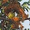 Mariqua Sunbird (Nectarinia mariquensis) subadult male, Caprivi Game Park, Namibia