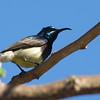 Madagascar Sunbird (Cinnyris notatus) Zombitse NP, Madagascar