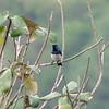 White-bellied Sunbird (Cinnyris talatala) Nelspruitt, South Africa