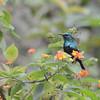 Anjouan Sunbird (Cinnyris comorensis) Lake Dzialandze, Anjouan, Comoros