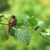 Bronze Sunbird (Nectarina killimensis) Bwindi Impenetrable Forest, Buhoma, Uganda