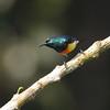 Mayotte Sunbird (Cinnyris coquerellii) Mayotte, France