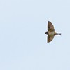 South African Swallow (Petrochelidon spilodera) Suikersborand, Gauteng, South Africa