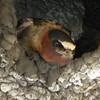Cliff Swalloww (Petrochelidon pyrrhonota) Long Lake NWR, ND