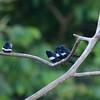White-banded Swallow (Atticora fasciata) Cristalino Lodge, Alta Floresta, Mato Grosso, Brazil