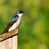 Tree Swallow (Tachycineta bicolor) Nashville, TN