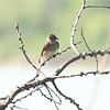 Northern Rough-winged Swallow (Stelgidopteryx serripennis) Mercer ND