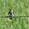 Bank Swallow (Riparia riparia) Long Lake NWR, ND