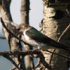 Violet-green Swallow (Tachycineta thalassina) Marion, MT