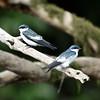 White-winged Swallow (Tachycineta albiventer) Cristalino Lodge, Alta Floresta, Mato Grosso
