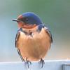 Barn Swallow (Hirundo rustica) Clark L. Sayler NWR, ND