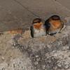 Cave Swallow (Petrochelidon fulva) San Antonio Riverwalk, San Antonio TX