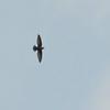 Vaux's Swift (Chaetura vauxi) La Tigra NP,  Honduras