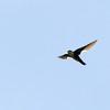 White-throated Swift (Aeronautes saxatalis) Santa Fe NM