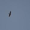 Seychelles Swiftlet (Aerodramus elaphrus) La Gogue Reservoir, Mahe`
