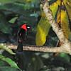 Masked Crimson Tanager (Ramphocelus nigrogularis) Allpahuayo, Loreto, Peru