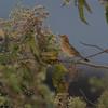 Buff-bellied Tanager (Thlypopsis inornata) Chillo Lodge, Utcabamba Valley, Peru