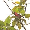 Vermilion Tanager (Calochaetes coccineus) Affluente, Peru