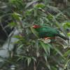 Grass-green Tanager (Chlorornis riefferii) Reserva Hidrográfica, Forestal y Parque Ecológico de Río Blanco, Manizales, Caldas, Columbia