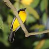 Black-throated Shrike-tanager (Lanio aurantius) Pico Bonito, Honduras