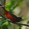 Crimson-backed Tanager (Ramphocelus dimidiatus) Road from Honda to Bogota, Cundinamarca, Columbia
