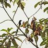 Magpie Tanager (Cissopis leveriana) Affluente, Peru