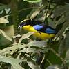 Blue-winged Mountain-Tanager (Anisognathus somptuosus) Reserva Hidrográfica, Forestal y Parque Ecológico de Río Blanco, Manizales, Caldas, Columbia