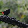Passerini's Tanager (Ramphocelus passerinii) La Union, Limon,  Costa Rica