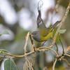 Gray-hooded Bush Tanager (Cnemoscopus rubrirostris) Reserva Hidrográfica, Forestal y Parque Ecológico de Río Blanco, Manizales, Caldas, Columbia