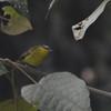 Superciliaried Hemispingus (Hemispingus superciliaris) Reserva Hidrográfica, Forestal y Parque Ecológico de Río Blanco, Manizales, Caldas, Columbia