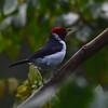 Red-capped Cardinal (Paroaria gularis) Cristalino Lodge, Alta Floresta, Mato Grosso, Brazil