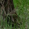 Gray-cheeked Thrush (Catharus minimus)  Bismarck, ND