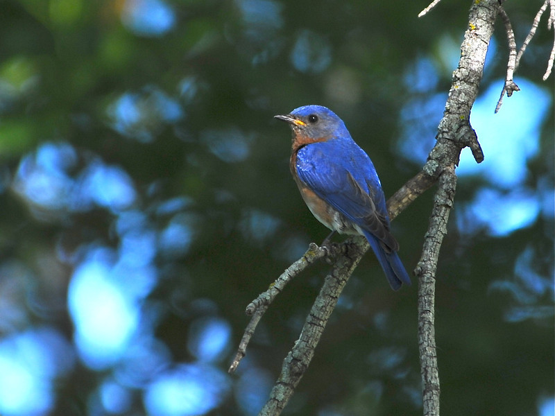 Eastern Bluebird (Sialia sialis) Turtle River SP, ND