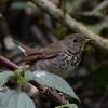 Bicknell's Thrush (Catharus bicknelli) Zapoten, Dominican Republic