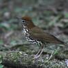 Wood Thrush (Hylocichla mustelina) Pico Bonito, Honduras