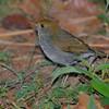 Ruddy-capped Nightingale Thrush (Catharus frantzii), La Tigra NP, Honduras.