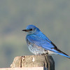 Mountain Bluebird (Sialia currucoides) Lost Trail National Wildlife Refuge, MT