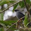 Black-faced Solitaire (Myadestes melanops) Tapanti NP, Cartago