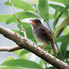 Orange-billed Nightingale-Thrush (Catharus aurantiirostris) Chelemha Reserve, Yalijux Mountains, Guatemala