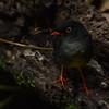 Slaty-backed Nightingale-Thrush (Catharus fuscater) La Paz Waterfall Gardens, Heredia