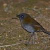 Black-billed Nightingale-Thrush (Catharus gracilirostris) Savegre Mountain Lodge, San Jose
