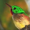 Broad-billed Tody (Todus subulatus) Los Haitises NP, Dominican Republic