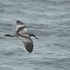 Buller's Shearwater (Puffinus bulleri) Monterey Bay, CA